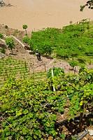 Viña Sicilia, Olaya, Western Antioquia, Antioquia, Colombia