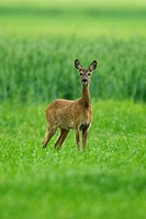 roe deer (Capreolus capreolus), doe standing in a field, Germany