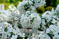 ornamental apple tree (Malus sargentii 'Tina', Malus sargentii Tina, Malus toringo var. sargentii), cultivar Tina, blooming