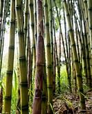 United Kingdom, England, Cornwall, Falmouth, Bamboo; Trebah Gardens