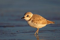 Piping plover (Charadrius melodus), standing in the tidal flat in the winter plumage, USA, Florida