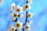 White plum blossoms, Osaka Prefecture