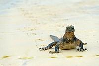 Isabela marine iguana (Amblyrhynchus cristatus albemarlensis, Amblyrhynchus cristatus ssp. albemarlensis), walking on sandy beach, Ecuador, Galapagos ...