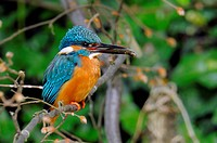 river kingfisher (Alcedo atthis), with caught fish in the beak, Germany, North Rhine-Westphalia