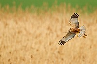 Western Marsh Harrier (Circus aeruginosus), flying over reed with nesting material in the claws, Germany, Rhineland-Palatinate