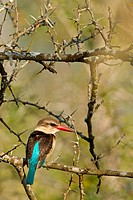 brown-hooded kingfisher (Halcyon albiventris), sitting on a branch, South Africa, Hluhluwe-Umfolozi National Park