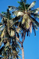 Coconut tree having two branches at fort Sindhudurgh , Malvan , Maharashtra , India