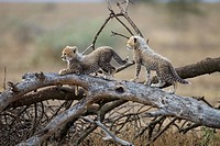 Cheetah Cubs Playing, Ndutu Plains, Tanzania