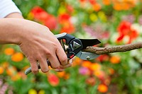 Gardener cutting bush, Pruning secateurs, Hand tool, Garden,.