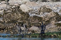 Europe, Cormorant, Phalacrocorax carbo, bird, water, black