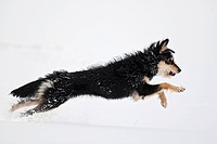 Mongrel dog leaping through the snow
