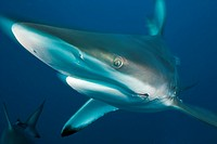 Blacktip Shark, Carcharhinus limbatus, Aliwal Shoal, Indian Ocean, South Africa