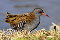 Water Rail on the grass.