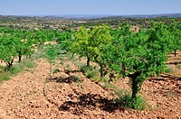 Almond grove, Calaceite, Matarraña region, Teruel, Aragon Community, Spain