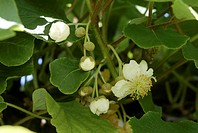 Kiwi (Actinidia chinensis), Blossoms on Tree