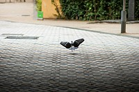 Pigeon landing like an angel, interior patio. Barcelona