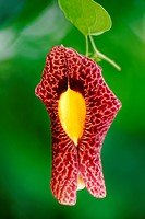 Flower of Aristolochia sp., Aristolochiaceae, Angiospermae.