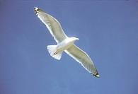 Herring Gull (Larus argentatus) ME, Maine