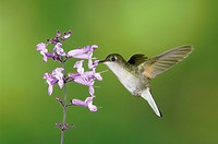 Black-bellied Hummingbird (Eupherusa nigriventris) female in flight feeding on Sage Flower , Central Valley, Costa Rica, Central America, December 200...