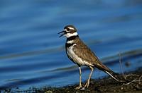 Killdeer calling (Charadrius vociferus) Jefferson County, Colorado