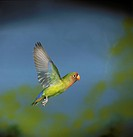 Fisher's Lovebird in Flight (Agapornis fischeri), a Parrot