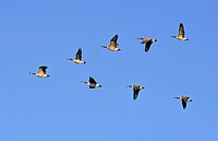 Flock of Canada Geese Flying in V Formation.