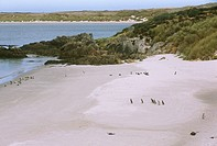 Magellanic Penguins, Gypsy Cove, sandy beach near Port Stanley, Falkland Is.