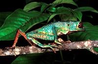 Warty Monkey Frog (Phyllomedusa tarsius) walking, Amazonas, Brazil