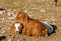 Part-Boer goat kids. Kimble County, TX, Texas