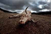 Dead cow, Gudar, Teruel, Spain