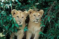 Lion (Panthera leo) Masai Mara, Kenya