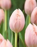 Tulipa Thijs Boots ®