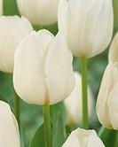 Tulipa Silver Dollar