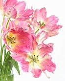 Tulipa Sexy Lady