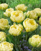 Tulipa Cheryl