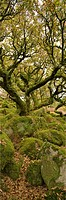 Dartmoor, Wistmans Wood, Stunted Oak Trees, vert pano