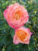 Heart-o-Gold Rose (Rosa hybrid) at McFarland CA