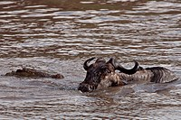 Nile crocodile(Crocodylus niloticus) attacking a wildebeest (Connochaetes taurinus) as it crosses the Mara River. Maasai Mara National Reserve, Kenya....