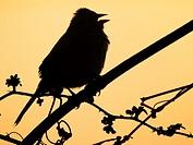 A songbird sings in silhouette against the dawn sky, Pennsylvania, USA.
