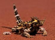 Thorny Devil (Moloch horridus), cute lizard, sunning, Uluru NP,Australia