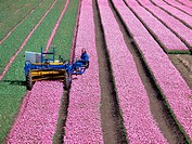 farmer at work at his tulip field in the polder the Beemster in The Netherlands