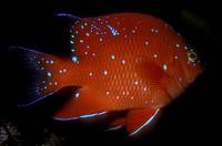 Juvenile Garbaldi (Hypsypops rubicundus) California