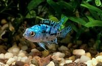 Jack Dempsy, blue Morph, juvenile