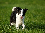 Germany, Baden Wuerttemberg, Border Collie dog on grass