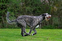 Irish wolfhound (Canis lupus familiaris) running in garden