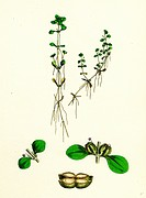 Callitriche platycarpa Large-fruited Water Starwort