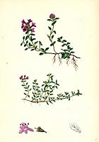 Thymus eu-Serpyllum Creeping Wild Thyme