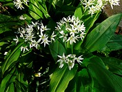 blooming wild garlic - 21/04/2009