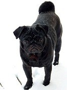 black pug in snow - 11/02/2010