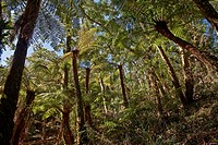 endemic giant tree fern, Cyatheaceae, in Amboro National Park, Samaipata, Bolivia, South America - Samaipata, Bolivia, 13/09/2011